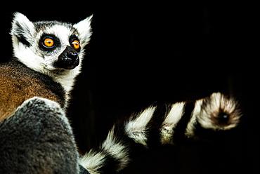 Lemur (Lemuroidea), United Kingdom, Europe