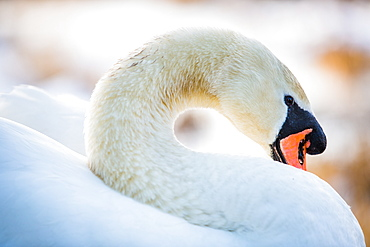 Swan in the morning light, United Kingdom, Europe