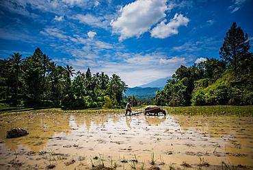 Buffalo and worker plough a Padi field, Sumatra, Indonesia, Southeast Asia