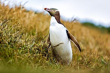 Yellow-eyed penguin (Megadyptes antipodes), Katiki Point, Moeraki Penninsula, Otago, South Island, New Zealand, Pacific