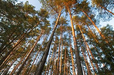Pine (Pinus sp.) tree plantation, late afternoon sunlight in February, Bialowieza National Park, Podlaskie Voivodeship, Poland, Europe