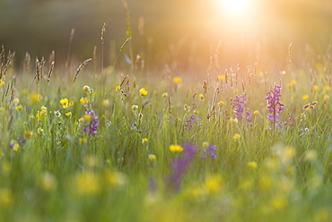 Green-winged orchid (Orchis morio) flowering in evening sunlight, Marden Meadow Nature Reserve, Kent, England, United Kingdom, Europe