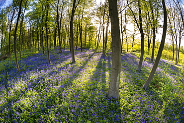 Common bluebell (Hyacinthoides non-scripta) growing in Common Beech woodland habitat, Kent, England, United Kingdom, Europe
