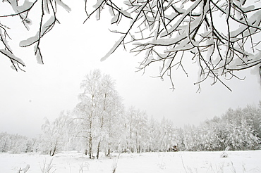 Silver birch (Betula pendual) tree, growing on snow covered meadow in February, Bialowieza, Poland, Europe