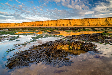 Toothed wrack (Fucus serratus) fronds, exposed on beach at low tide, Reculver, Kent, England, United Kingdom, Europe