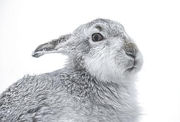 Mountain Hare (Lepus timidus), Cairngorms, Scotland, United Kingdom, Europe - 1204-16