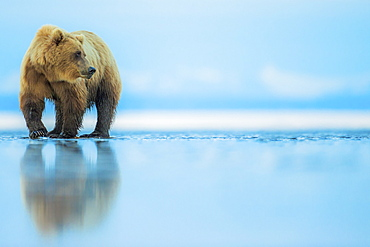 Brown bear (Ursus arctos), Lake Clark, Alaska, United States of America, North America