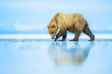 Brown bear (Ursus arctos), Lake Clark, Alaska, United States of America, North America - 1205-15