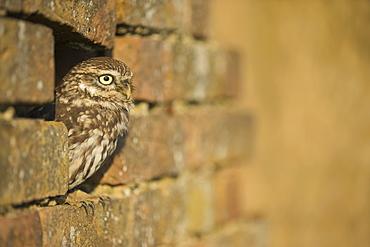 Little owl (Athene noctua) in captivity, Gloucestershire, England, United Kingdom, Europe