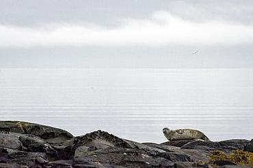 Seal, Westfjords, Iceland, Polar Regions
