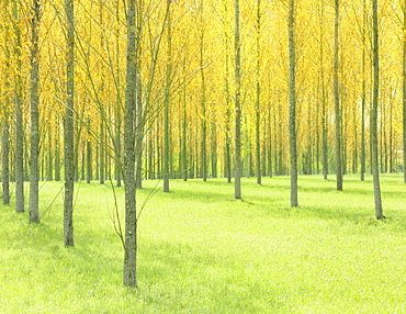 Poplar trees in spring, France, Europe