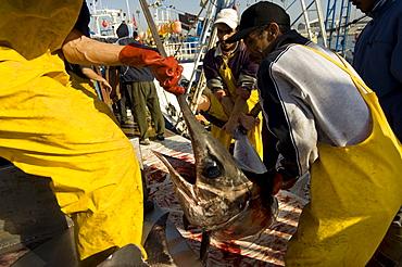 Fishermen landing swordfish at the fishmarket in Tangier, Morocco, North Africa, Africa