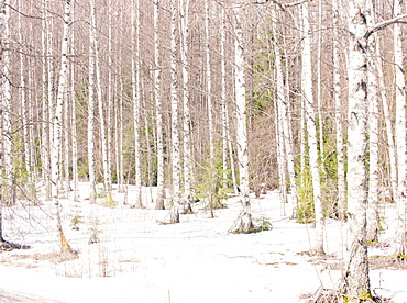 Silver birch trees in winter, Norway, Scandinavia, Europe