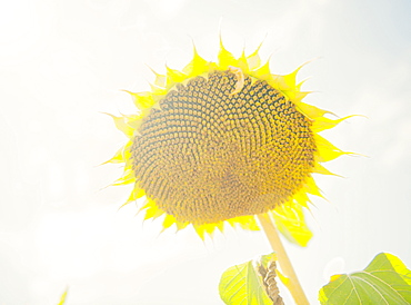 Lone sunflower head in the sun, France, Europe