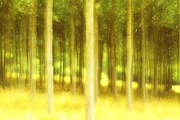 Poplar trees, France, Europe