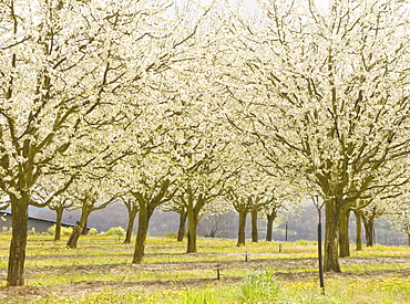 Plum trees in blossom, France, Europe