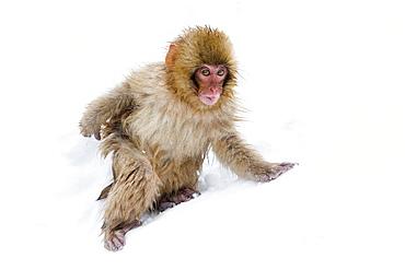Japanese macaque (Snow monkey) (Macata fuscata), in the snow, Jigokudani Yaen-Koen, Nagano Prefecture, Japan, Asia