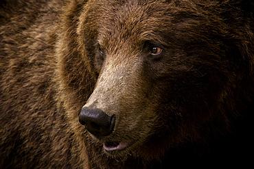 Portrait of a brown bear (Ursus arctos) large male, Finland, Scandinavia, Europe