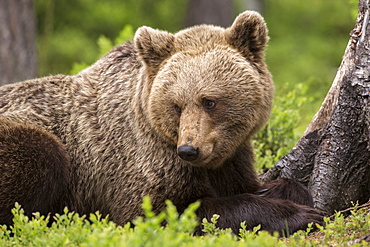 Brown bear (Ursus arctos) large female, Finland, Scandinavia, Europe