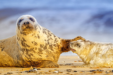 Grey seal mother (Halichoerus grypus) and pup, Winterton on Sea beach, Norfolk, England, United Kingdom, Europe