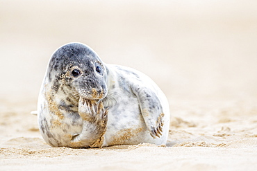 Grey seal (Halichoerus grypus) pup, Winterton on Sea beach, Norfolk, England, United Kingdom, Europe
