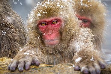 Japanese macaques (Snow monkeys) (Macata fuscata), relaxing in a hot spring, Jigokudani Yaen-Koen, Nagano Prefecture, Japan, Asia