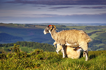 Sheep with lamb on Stanage Edge, Peak District National Park, Derbyshire, England, United Kingdom, Europe