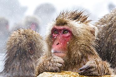 Japanese macaque (Snow monkey) (Macata fuscata), Jigokudani Yaen-Koen, Nagano Prefecture, Japan, Asia