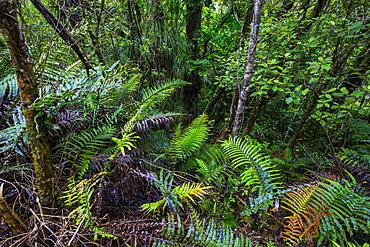 Waipoua Kauri Forest, Northland, North Island, New Zealand, Pacific