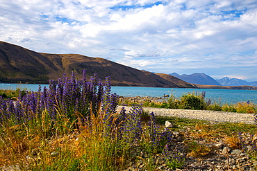 Lupins, Lake Tekapo, South Canterbury, South Island, New Zealand, Pacific