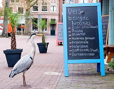 Grey heron reading Fishmongers Menu, The Netherlands, Europe