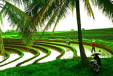 Terraced rice paddy in Ubud, Bali, Indonesia, Southeast Asia, Asia