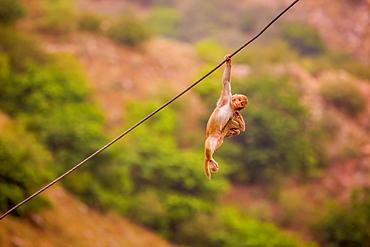 Wild monkey hanging out, Jaipur, Rajasthan, India, Asia