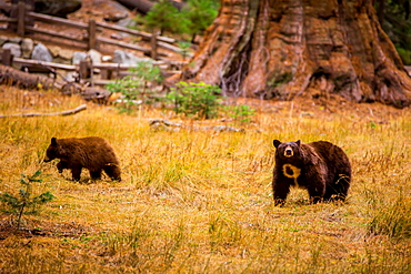 Mother brown bear and her cub, Sequoia National Park, California, United States of America, North America