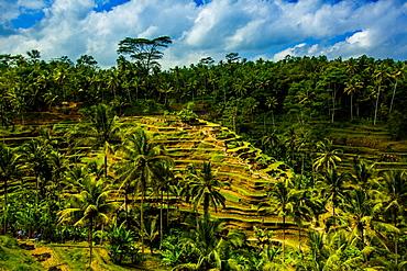 Tegalalang Terraced Rice Paddy, Bali, Indonesia, Southeast Asia, Asia
