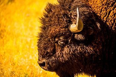 Portrait of an American buffalo, Buffalo Round Up, Custer State Park, Black Hills, South Dakota, United States of America, North America