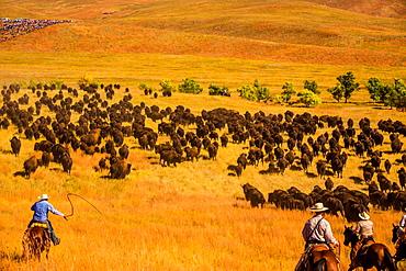 Buffalo Round Up, Custer State Park, Black Hills, South Dakota, United States of America, North America