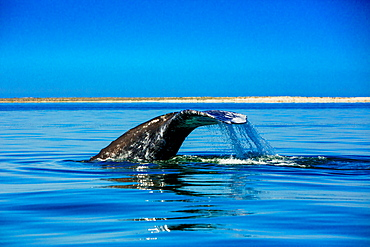Grey whales, Whale Watching, Magdalena Bay, Mexico, North America
