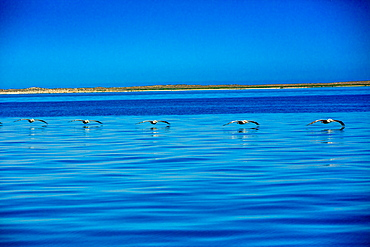 Pelicans, Whale Watching, Magdalena Bay, Mexico, North America