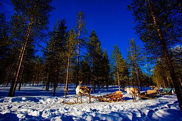 Reindeer Safari, Kakslauttanen Igloo Village, Saariselka, Finland, Scandinavia, Europe