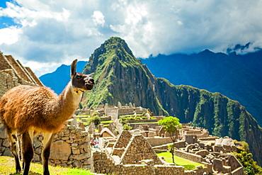 Resident llama, Machu Picchu ruins, UNESCO World Heritage Site, Peru, South America