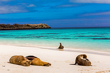 Sea lions on Floreana Island, Galapagos Islands, UNESCO World Heritage Site, Ecuador, South America