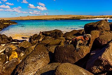 Iguanas on Espanola Island, Galapagos Islands, UNESCO World Heritage Site, Ecuador, South America