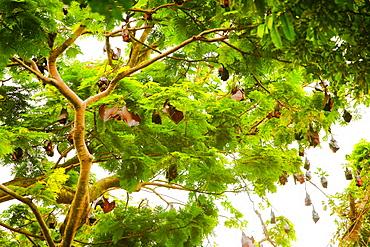 Giant fruit bats, Bali, Indonesia, Southeast Asia, Asia