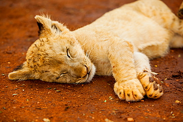 Baby lion at Kruger National Park, Johannesburg, South Africa, Africa