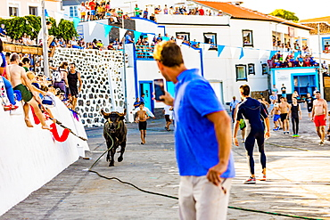 Running of the Bulls in Sao Mateus village on Terceira Island, Azores, Portugal, Atlantic, Europe