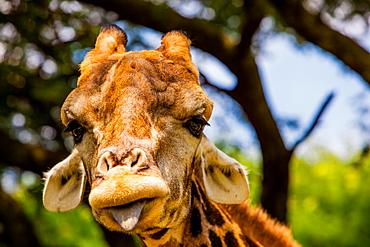 Giraffe making a funny face, Kruger National Park, Johannesburg, South Africa, Africa