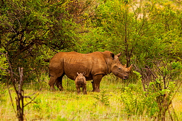 African rhino and baby, Kruger National Park, Johannesburg, South Africa, Africa