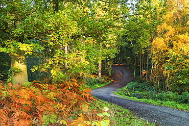 A track leads into Delamere Forest with autumn colour filling the landscape, Cheshire, England, United Kingdom, Europe