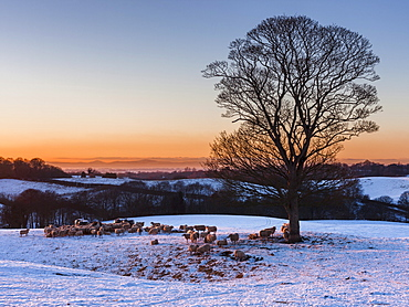 A herd of sheep grazing in the winter snow near Delamere Forest, Cheshire, England, United Kingdom, Europe